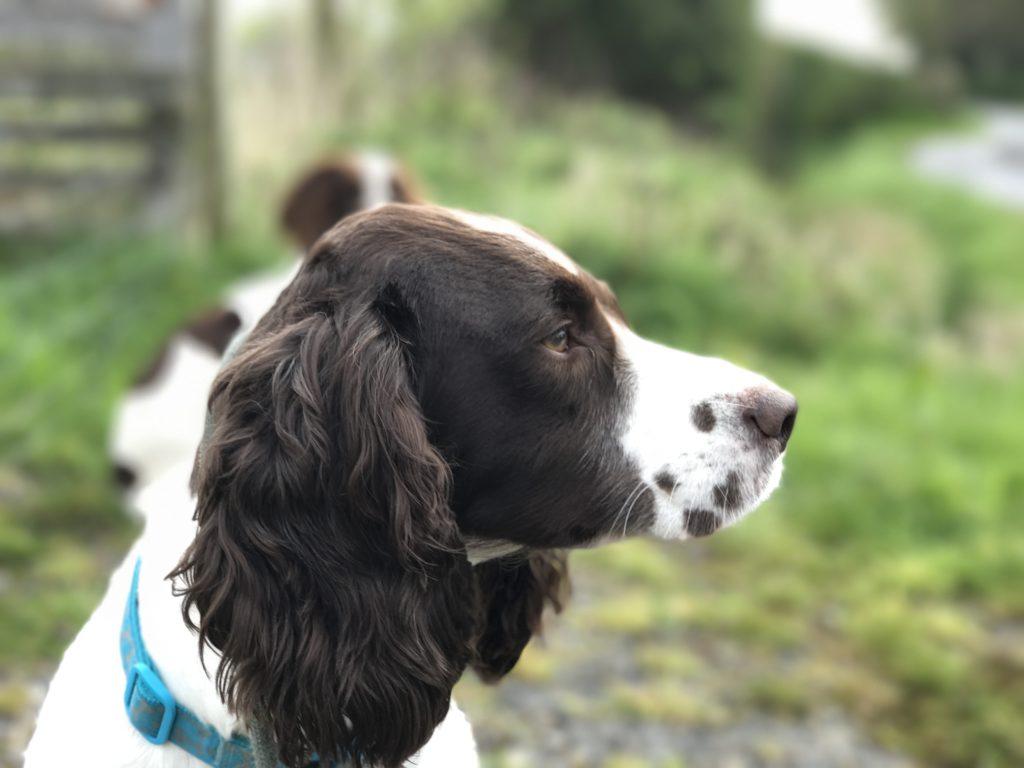 springer spaniel rescue dog behaviour correction training