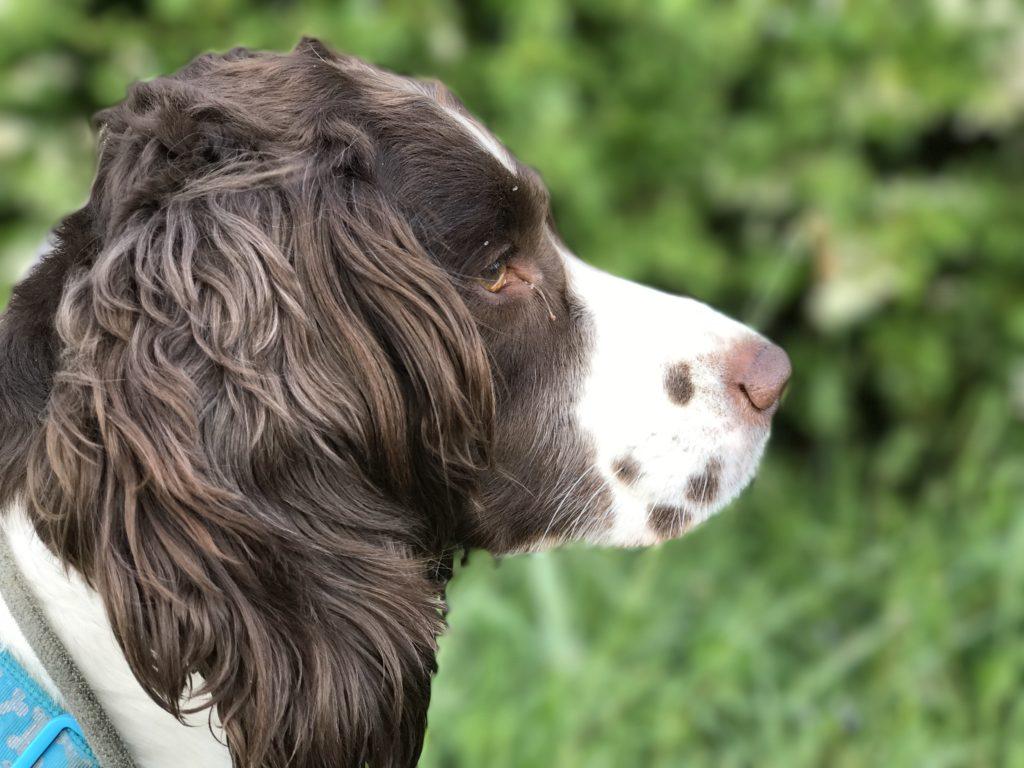residential dog training springer spaniel