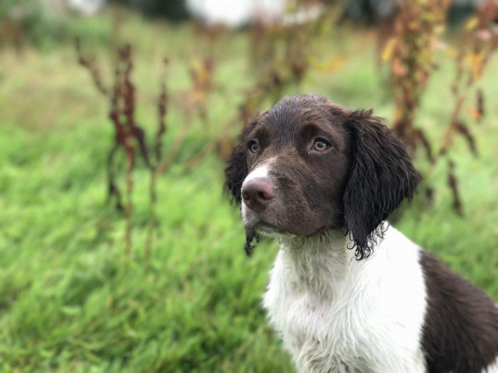 puppy gundog training springer spaniel