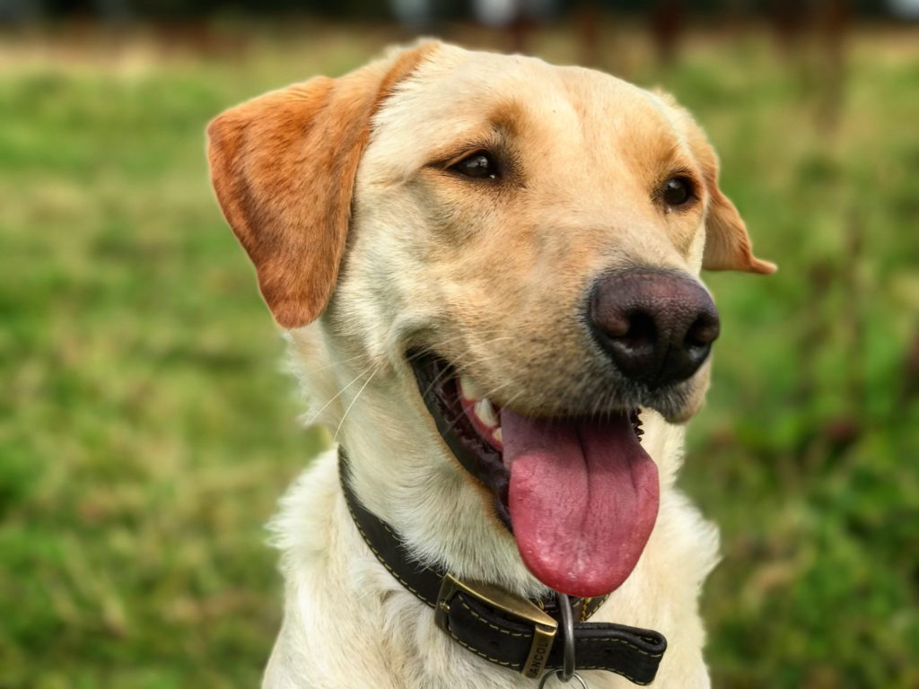 Dog anxiety training in a labrador