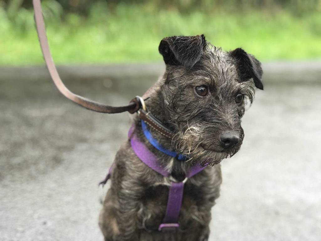 dog aggression modification patterdale terrier