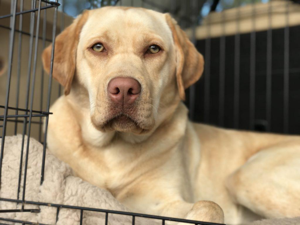 dog training labrador testimonial