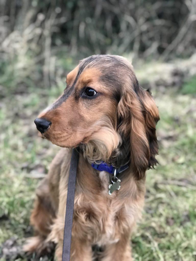 residential dog training cocker spaniel