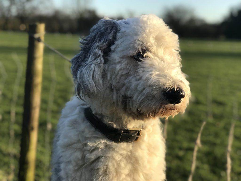 old english sheep dog residential training