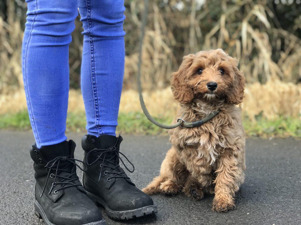 puppy dog training cavapoochon