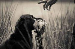 Pedigree of Sweet Violet Holly my Labrador